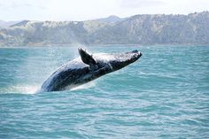 """Besides having warm weather during the winter months, #Maui welcomes whales during this time of year, and @hyattmaui is hosting its annual """"Whale Tales"""" through to the end of March. Whale watching cruises and expert info on whales are available at this time. #whaletales #lethawaiihappen #alohafriday  Photo Source: hawaiioceanrafting.com"""