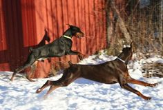 A picture that shows the true beauty, grace and athleticism of the Doberman Pinscher!