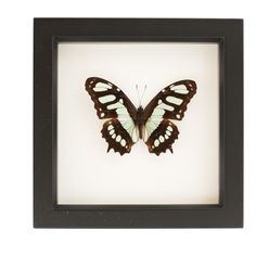Framed Butterfly Display Malachite Butterfly ($40) ❤ liked on Polyvore featuring home, home decor, wall art, black, home & living, butterfly home decor, black home decor, butterfly wall art, black framed wall art and black wall art