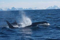 Pictures by Piet van der Bemd Sea Safari Andenes.
