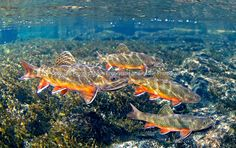 Brook Trout Patrick Clayton/Engbretson Underwater Photography