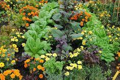 Növénytársítás a zöldséges kertben » Okos Kert és Otthon Magazin Garden Projects, Vegetables, Plants, Gardening, Food, Meal, Veggies, Garten, Essen