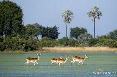 Jacana Camp is set in the Jao Concession, a true wetland area, ideal for the rare sitatunga and abundant red lechwe. #Africa #Safari #Botswana