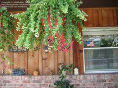 View picture of Lipstick Plant, Basketvine, Basket Vine 'Rasta' (Aeschynanthus) at Dave's Garden.  All pictures are contributed by our community.