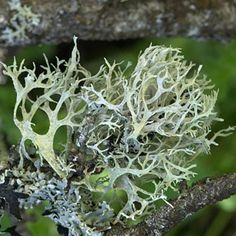 """IFRA compliant Oakmoss Absolute, also known by its French name """"Mousse de Chêne"""";  a must have for perfume artisans; is very tenacious and brings an exquisite depth of character to accords. Use as a superb base note fixative in masculine blends or for rounding out floral notes."""
