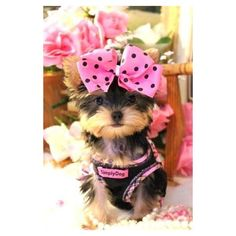 Yorkies for Sale. Some of the Most Beautiful Teacup Puppies in the World! Classy, Lovable Teacup Yorkie & Maltese for Sale. Teacup Yorkie For Sale, Teacup Puppies, Cute Puppies, Cute Dogs, Dogs And Puppies, Poodle Puppies, Yorkies, Chien Yorkshire Terrier, Yorshire Terrier