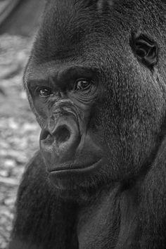 Silver-back Gorilla such beautiful animals