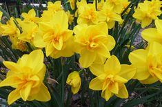 Double Daffodils Are So Petal-Packed, They Look Almost Like Dahlias Spring Perennials, Hardy Perennials, Flowers Perennials, Spring Flowering Bulbs, Spring Bulbs, Flowering Plants, Purple Tulips, Yellow Flowers, Pink Roses