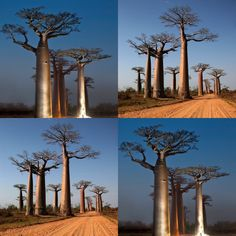 Baobab Tree / Baobab Fruit   More Pins Like This At FOSTERGINGER @ Pinterest