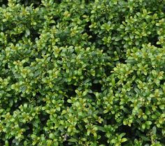 japanese holly ilex crenata for around the oil tank front triangle garden pinterest. Black Bedroom Furniture Sets. Home Design Ideas