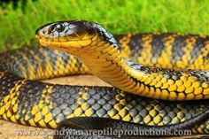Western Tiger Snake (Notechis scutatus occidentalis)