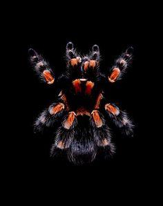 Brachypelma-smithi tarantula ~ Photo by...Guido Mocafico.