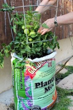 Grow tomatoes without a garden. Just plant them right in to a bag of potting soil  and add a cage.