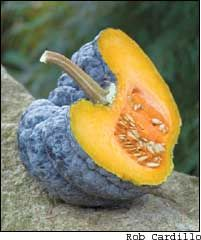 Fragrant, richly flavored 'Yokohama' squash is a visual study in the Japanese affection for serenity through form and texture. This sweet-tasting heirloom vegetable also boasts great resistance to borers and powdery mildew. Learn all about rare 'Yokohama,' how to grow it and how to save seed, plus try our recipe for Steamed Squash Dumplings.