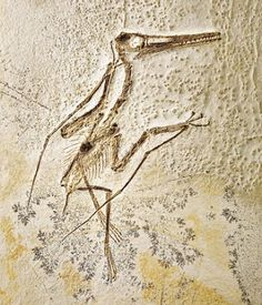 A rare complete Pterodactyl fossil
