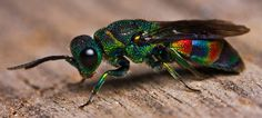 This beautiful rainbow insect is actually a wasp Commonly known as cuckoo wasps, the hymenopteran family Chrysididae is a very large cosmopolitan group (over 3000 described species) of parasitoid or kleptoparasitic wasps, often highly sculptured, with brilliantly colored metallic-like bodies.  http://en.wikipedia.org/wiki/Cuckoo_wasp
