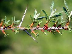 \シーベリーの枝、葉っぱ、棘なんだよ♪ 2012年5月26日撮影 /\そしてテントウムシっ!/\テントウムシですわね。/\だよ♪/