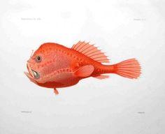 THE SEA TOAD - CHAUNAX COLORATUS Rare Fish, Fish Illustration, Deep Sea Fishing, Fish Print, Toad, Prints For Sale, Antiques, Beautiful, Antiquities