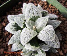 Haworthia pygmaea seedling