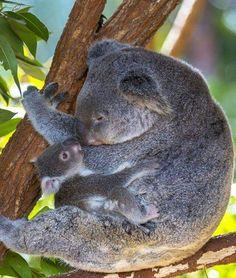 Koala bears live at the Australia Zoo