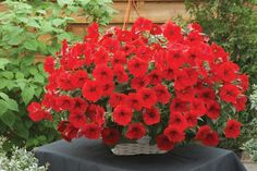 Petunia Opera Supreme™ Red is more vigorous than other red trailing Petunias, easily spreading to 4 feet in width and covered with flowers from the center of the plants all the way to the very tips of each stem. Love Garden, Summer Garden, Planting Seeds, Planting Flowers, Garden Seeds, All Flowers, Beautiful Flowers, Trailing Petunias, Petunia Flower