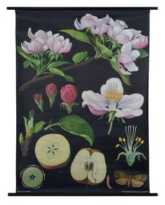An Apple Tree Poster from a series of German Scientific Charts still produced by the original printer. Impressive science decor with vintage classroom style! History Posters, Flora Und Fauna, Apple Prints, Vintage School, Poster Prints, Art Prints, Tree Print, Apple Tree, Botanical Prints