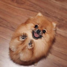 Puppies: Facts And Adorable Pictures Do you want to adopt an adorable Pomeranian puppy?Do you want to adopt an adorable Pomeranian puppy? Cute Funny Animals, Cute Baby Animals, Animals And Pets, Cute Pomeranian, Fluffy Dogs, Cute Dogs And Puppies, Puppies To Adopt, Doge, Dog Breeds