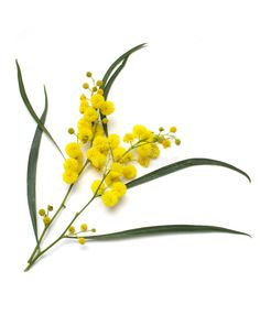Photo about Australian Wattle (acacia) blooms isolated on white background with clipping path. Image of wattle, australian, bloom - 6430862 Australian Wildflowers, Australian Native Flowers, Australian Plants, Australian Art, Flowers Australia, Wildflower Drawing, Flower Symbol, Plant Tattoo, Wreath Drawing