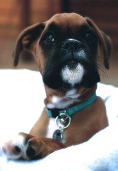 Si vous ne saviez aps que le Boxer est ma race de chien favorite, et bien... Le Boxer est ma race de chien favorite.