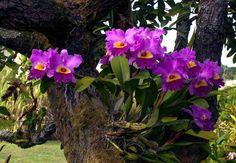Cattleya hybrid growing outdoors