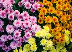 Chrysanthemum offers colorful blooms and medicinal benefits—and a range of unpleasant potential side effects. This traditional fall flower can trigger skin irritation and allergy symptoms in sensitive people. Those who are allergic to pollen should enjoy their chrysanthemums outdoors, where the pollen can't infiltrate a confined indoor space.
