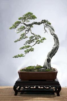 """Planted off center to right, the negative space creates a scene- instead of just an image of a tree, you get a sense of the tree in its """"habitat"""" Bonsai trees are excellent additions to any home décor and add an exotic feel to any patio decoration!"""