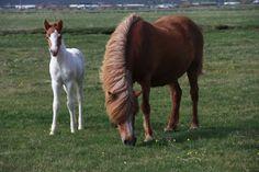The Icelandic Viking Horses Beautiful Horses, Animals Beautiful, Viking Culture, Native Country, Icelandic Horse, Equine Photography, Palomino, Donkeys, Vikings