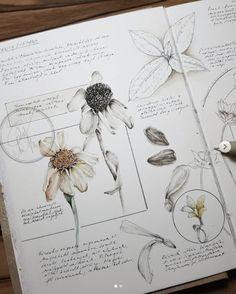 Botanical Drawings, Botanical Art, Botanical Illustration, Graphic Illustration, Illustrations, Mermaid Drawings, Art Drawings, Kunstjournal Inspiration, Illustration Botanique