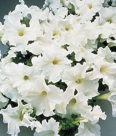 """Petunia, Supercascade White..."""" Very large colored flowers cover bushy plants. The large, 4-5 blossoms on the well-branched plants deliver great garden impact. Fine for hanging baskets and containers. GARDEN HINTS: Pinch off faded flowers and seed pods to encourage more blooms."""" [Burpee Exclusive]"""
