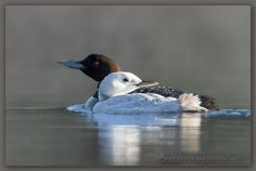 Leucistic loon « Search Results « Kootenay Nature Photos