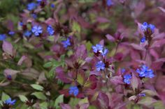 Ceratostigma Also known as hardy plumbago, ceratostigmas to grow include Ceratostigma willmottianum and C. The flowers last into October, by which point they'll provide beautiful contrast with plum-coloured autumn leaves. Euonymus Alatus Compactus, Types Of Soil, Garden Plants, Flowering Plants, Livestock, Backyard Landscaping, Autumn Leaves, Shrubs, Gardening Tips