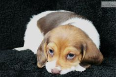 Meet Isabelle a cute Beagle puppy for sale for $850. Isabelle-Female Beagle (Shipping Included!!!)