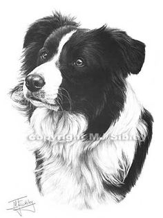 Border Collie, Head Studies, Mike Sibley, SAA Professional Members' Galleries
