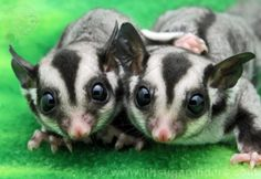 Black Beauty Sugar Glider Twins .. sweet as can be and available for adoption!
