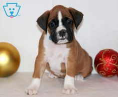 Penelope | Boxer Puppy For Sale | Keystone Puppies