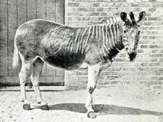 Quagga | One of 2 photos taken at London Zoo (female). In the wild (subspecies of plains zebra) great numbers found in So. Africa | Were hunted to extinction 4/meat, hides, preserve feed for domesticated animals | Last wild Quagga shot in 1970s, w/the last one held in captivity dying in August of 1883. Interesting fact: Quagga was first extinct animal to have DNA examined. Prior, it was believed Quagga was an entirely separate species from the zebra, rather than a subspecies.