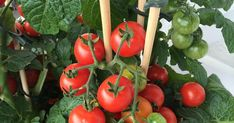Grow Organic Tomatoes Tomatoes: Planting, Growing and Harvesting Tomato Plants