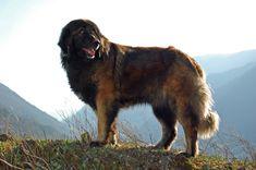 The Estrela Mountain dog.
