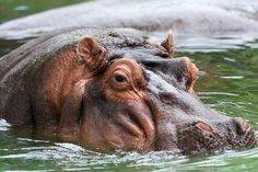 Hippo memphis - Hippopotamus - Simple English Wikipedia, the free encyclopedia