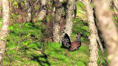 El gran gallo del bosque, al límite Natural, Plants, Woods, Cities, Plant, Nature, Planets, Au Natural