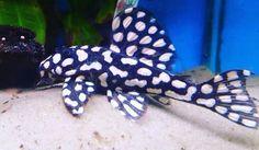 Tropical Fish Aquarium, Freshwater Aquarium Fish, Beautiful Tropical Fish, Beautiful Fish, Pleco Fish, Plecostomus, Shrimp Tank, Cool Fish, Aquarium Design