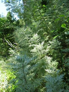 Artemesia absinthium, nice short article about  the making of and serving traditions of Absinthe