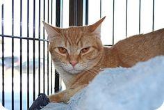 Exton, PA - Domestic Shorthair. Meet Runyun (LV), a cat for adoption. http://www.adoptapet.com/pet/17376383-exton-pennsylvania-cat