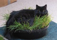 Indoor Cat Lawn! - Hints and tips on how to grow grass and types of grass to keep your cats happy.